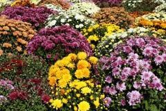 Chrysanthemum autumn scene Royalty Free Stock Photography