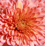 Chrysanthemum Background Stock Photography
