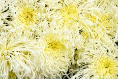 Chrysanthemum background Royalty Free Stock Photos