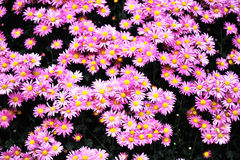 Chrysanthemum background Royalty Free Stock Image