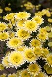 Chrysanthemum  background Stock Photo