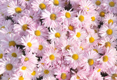 Chrysanthemum background Stock Images