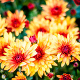 Chrysanthemum background Stock Photo