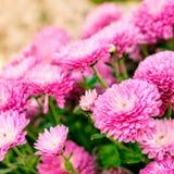 Chrysanthemum background Royalty Free Stock Photo