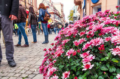 Chrysanthemum on a background of European streets Royalty Free Stock Images
