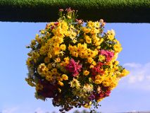 Chrysanthemum ball Royalty Free Stock Photography