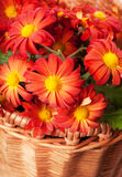 Chrysanthemum in a basket Stock Images