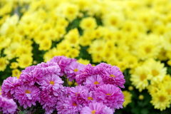 Chrysanthemums. Background of yellow and purple flowers Royalty Free Stock Photography
