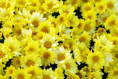 Chrysanthemums. Background of yellow flowers Stock Image