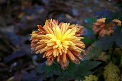Chrysanthemum. Beautiful bright chrysanthemum flower autumn Royalty Free Stock Photo