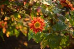 Chrysanthemum Stock Photography