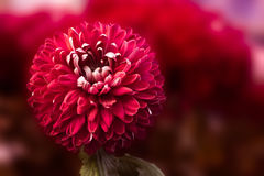 Chrysanthemum. The beautiful flower a chrysanthemum grows in a greenhouse Royalty Free Stock Photo