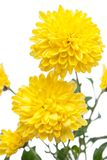 Chrysanthemum. Beautiful flower on light background Stock Photo