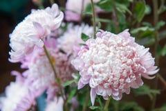 Chrysanthemum beautiful flower plants in vase Royalty Free Stock Photos