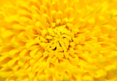 Chrysanthemum. Beautiful yellow chrysanthemum  close up Stock Image
