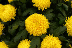 Chrysanthemum Stock Photography