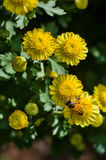 Chrysanthemum and bee Stock Image