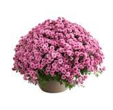 Chrysanthemum Belgo Lilac Stock Image