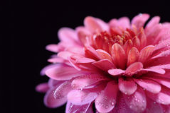 Chrysanthemum on a black Royalty Free Stock Images