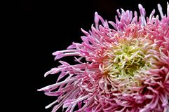 Chrysanthemum in black background Royalty Free Stock Images