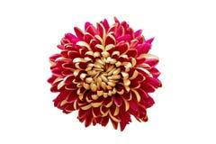 Chrysanthemum on black background. Art Royalty Free Stock Photos
