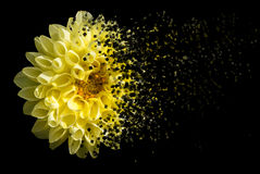 Chrysanthemum on black. Beautiful Chrysanthemum on back background Stock Images