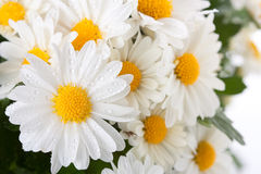 Chrysanthemum blanc Photographie stock libre de droits
