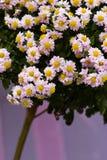 Chrysanthemum blanc Photographie stock libre de droits