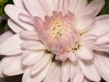 Chrysanthemum blanc Image libre de droits