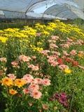 Chrysanthemum bloom in garden Stock Images