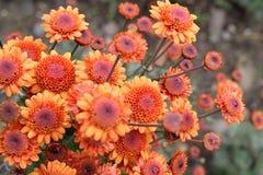 Chrysanthemum Blooming Stock Photography