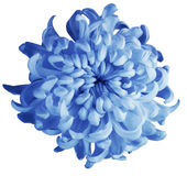 Chrysanthemum blue flower  isolated  with clipping path on a white background. Beautiful chrysanthemum dark blue center. For desig Stock Image