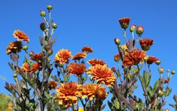 Chrysanthemum. And blue sky. Sunny day in summer royalty free stock photos