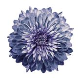 Chrysanthemum blue-violet. Flower on isolated white background with clipping path without shadows. Close-up. For design. royalty free stock photo
