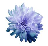 Chrysanthemum blue-violet. Flower on isolated white background with clipping path without shadows. Close-up. For design. royalty free stock photos