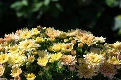 Chrysanthemum bouquet Stock Images