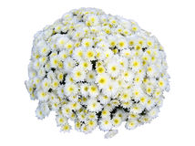 Chrysanthemum Bouquet Isolated Stock Images