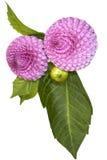 Chrysanthemum branch Royalty Free Stock Images