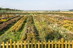 Chrysanthemum breeding base Stock Image