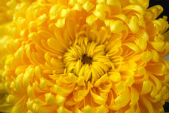 Chrysanthemum. Bright paints of autumn are chrysanthemums Royalty Free Stock Images