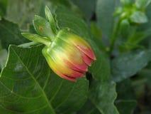 Chrysanthemum bud Royalty Free Stock Photos