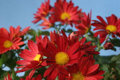 Chrysanthemum bunch. A bunch of red chrysanthemum flowers with yellow centres are shown against a pale blue background, the front flower is in focus, the rest Royalty Free Stock Image