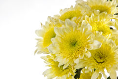 Chrysanthemum is bunched. Open composition. Beautiful autumn flowers isolated on a white background stock photo
