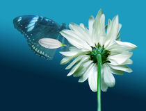 Chrysanthemum and butterfly on background of the drop. Blanching chrysanthemum and darkenning butterfly with petal royalty free stock images