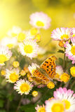 Chrysanthemum with butterfly Royalty Free Stock Photo