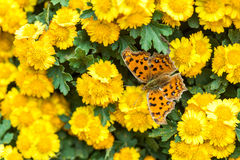 Chrysanthemum with butterfly Stock Image