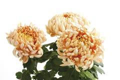 Chrysanthemum (Chrysanthemum indicum), close-up Royalty Free Stock Image