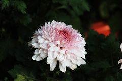 Chrysanthemum. Is one of the top ten flower of China, one of the four gentlemen in the flower, is one of the world`s four major cut flowers, the output of the Royalty Free Stock Images