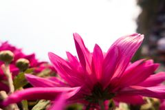 Chrysanthemum. Symbol long long:  open in the fall, it is a symbol of autumn, people even in September called ``, because the  and `according to` homonym, `nine Royalty Free Stock Photo