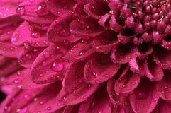 Chrysanthemum close-up Stock Image